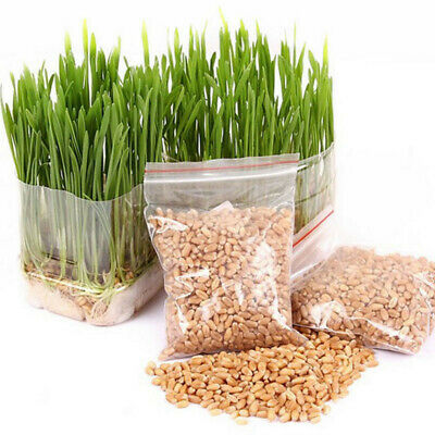 800 Seeds Cat Grass Oat Seeds Many Sizes Cat Bird Digestive C22 Aid Health O7O6