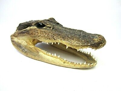 Vintage Taxidermy Real Crocodile ALLIGATOR HEAD Small Very Good Condition!