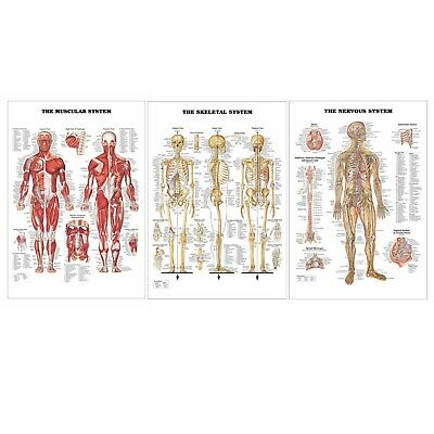 Human Body Anatomy 3 Poster Set Skeletal, Muscular, Nervous System 17x24 SHIPS F