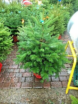 Christmas Tree Nordmann Fir Pot Grown With Roots - Living Tree - 80cm to 100cm