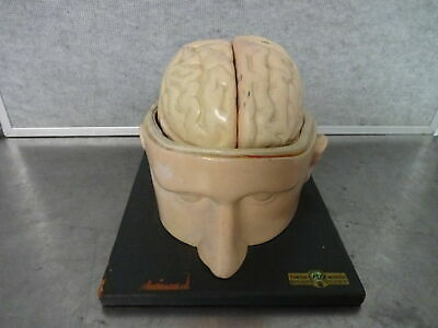 Vintage Turtox Latex Human Brain Model Teaching Display