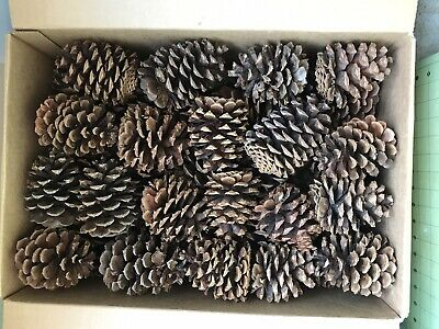 "Lot of 36- Oregon PONDEROSA Pine Cones Organic Natural JUMBO SIZE 4"" or taller"