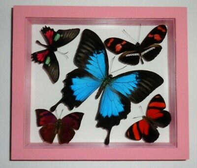 "5 Real Framed Butterflies Double Glass 6.5""X7.5""Inches Papilio Ulysses"