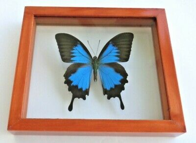Real Framed Butterfly Blue Papilio Ulysses Male Double Glass