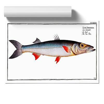 Sea-Pike Fish Wall Art Poster Print Animal M.E. Bloch