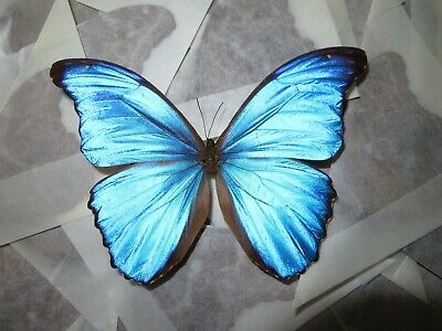 Lot Of 20 Blue Morpho Didius A1/A- Unmounted Wings Closed