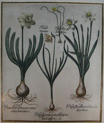 "17th c. Basilius Besler Hand Colored Copper Botanical Engraving,18 3/4"" x 15 3/4"