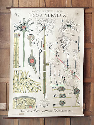 Antique Medical Pull Down Chart, LARGE Nerve Tissue Chart, French Anatomy Poster