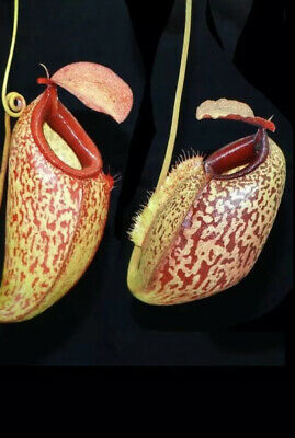Nepenthes merriliana x aristolochioides BE-3877, Colorful And Huge aristo hybrid