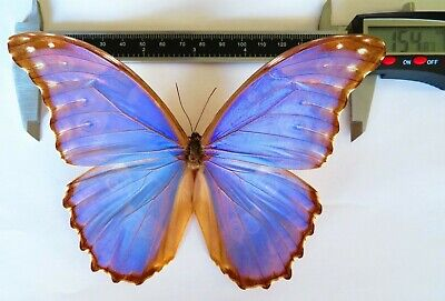 Rare Huge Morpho Godarti Amazing Butterfly For Collection