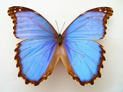 Rare Morpho Godarti Amazing Butterfly For Collection