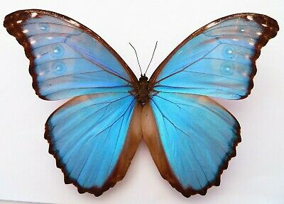 Morpho Godarti Amazing Butterfly Rare For Collection