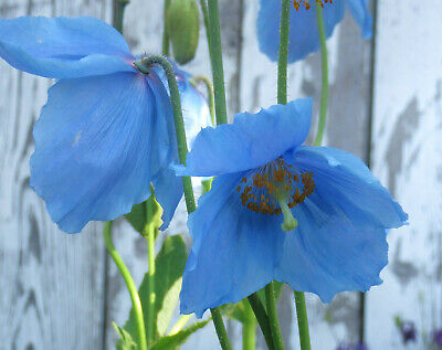 T/&M Poppy Blue Meconopsis approx. 40 seeds