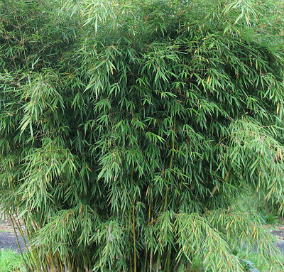 BAMBOO FARGESIA ROBUSTA CAMPBELL SMALL CLUMP 3-6 STEMS live clump