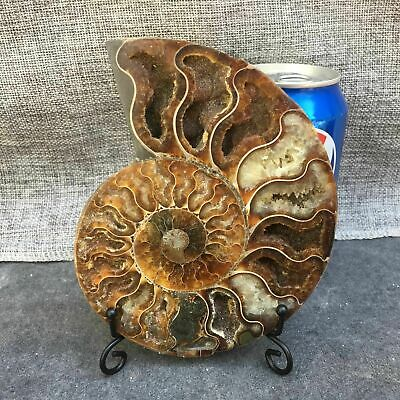 Natural Crystal ammonite fossil conch specimen healing+stand 1pc random