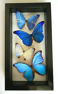 4 Real Butterflies Framed Blue Morpho Collection Mounted Double Glass Amazing