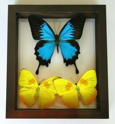 "3 Real Framed Butterflies Papilio Ulysses Size 6.5''X7.5"" Double Glass"