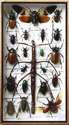 Orthonecrosia filum Walking Stick BLUE Taxidermy REAL Insect