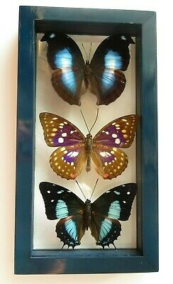 "3 Real Framed Butterflies Male Size 8.5""X4.5"" Double Glass Amazing"