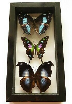 "3 Real Framed Butterflies Size 8.5""X4.5"" Double Glass Amazing Great Finish"