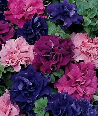 Color Cat Hanging 50 Pcs Seeds Purple Flowers With White Edge Garden NEW Petunia