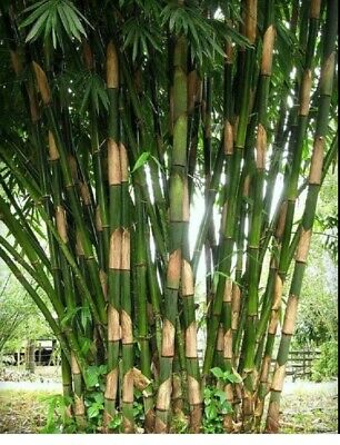 50 Chusquea Bamboo Seeds Privacy Plant Garden Clumping Seed Shade Screen Path