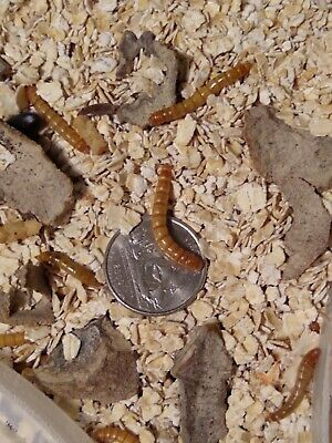 1000 - Live Mealworms+Extra