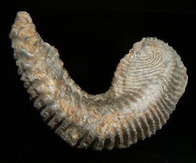 85 mm FOSSIL ZIPPER OR ZIG-ZAG OYSTER FROM MADAGASCAR