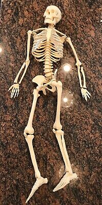 "Vintage Full Human Adult Skeleton Anatomy Medical Model Chiropractor 34"" Tall"