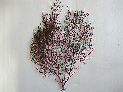 Coral gorgonia red. 300 x 250 mm.