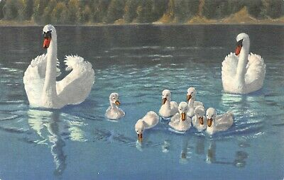 C3656 Swan Pair with Seven Cygnets Vintage Swiss Postcard Edition Stehli No. 51