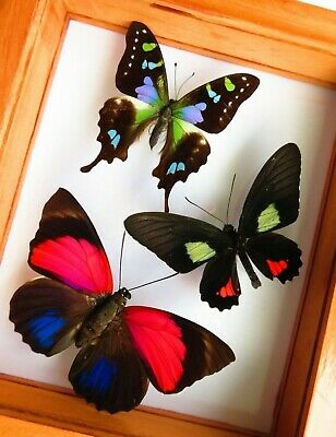 """3 Real Framed Butterflies Size 5.5""""X6.5""""Inches Double Glass"""" Special Butterfly"""""""