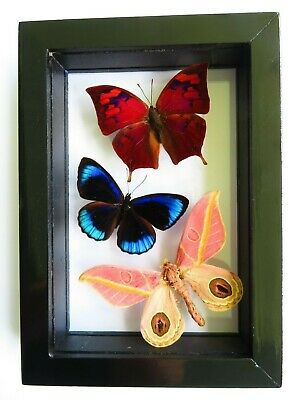 3 Real Framed Butterfly Male Mounted Double Glass Special Butterflies