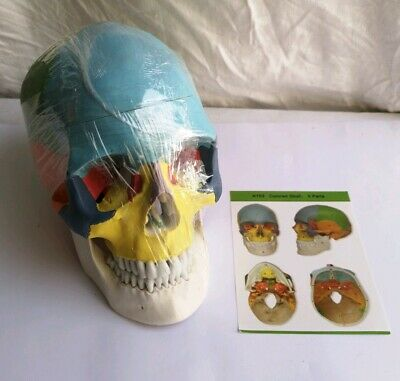 Gima 40155 Skull Model Coloured Separable into 3 parts