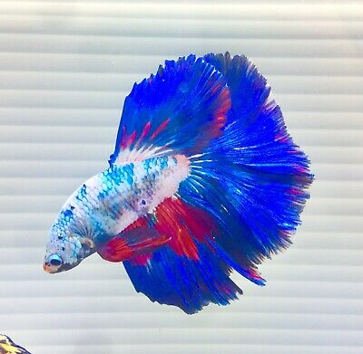 """US SELLER(A-Grade)Male Blue Fancy Giant Halfmoon 3"""" Betta imported from Thailand"""