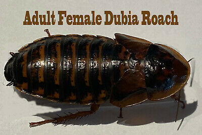 DUBIA ROACHES - Roach Starter Colony - 15 Females - 30 Various Sized Nymphs