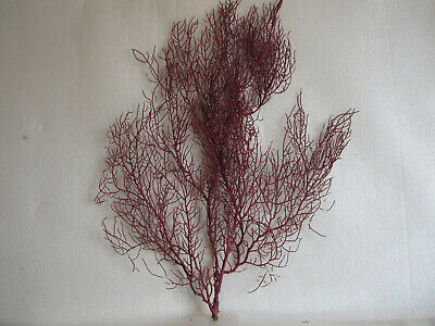 Coral gorgonia red. 300 x 400 mm.