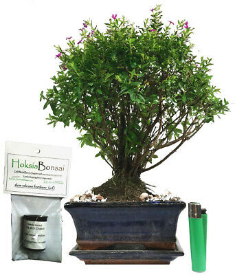 Japanese Myrtle Cuphea Hyssopifolia Indoor Bonsai Tree Free Feed Jm15bf2 27 45 Picclick Uk