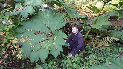 MAJESTIC ARCHITECTURAL GIANT GUNNERA SEEDS  FREE P/&P