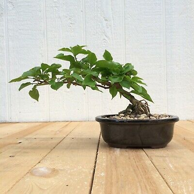 Bonsai Tree Bougainvillea Bonsai Nice Thick Trunk Red Flowers 39 99 Picclick