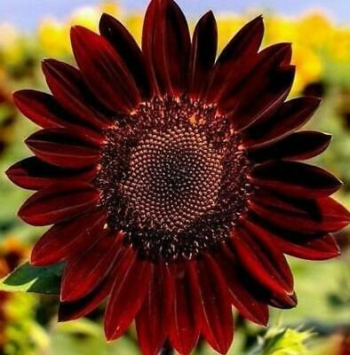 40 graines de TOURNESOL ROUGE Helianthus annuus RED SUN E45 SUNFLOWER SEEDS SEMI