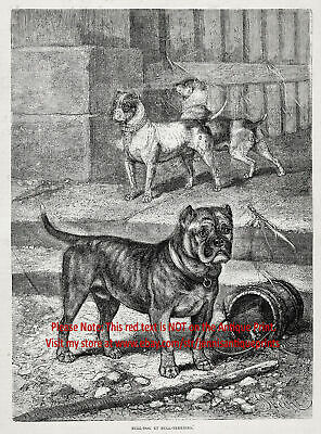 Dog Pit Bull Terriers Bulldogs, Historic 1870s Antique Engraving Print