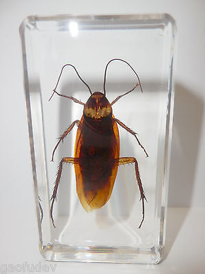 American Cockroach Periplaneta americana Clear Block Education Insect Specimen