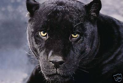 Black Panther Box Canvas Art Animal Artwork Picture A1