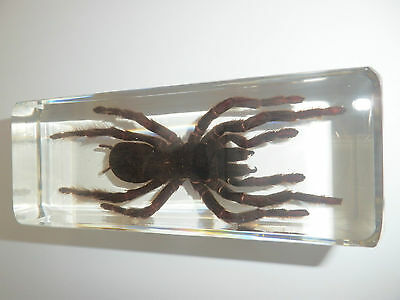 Large Tarantula Spider Golden Earth Tiger 110x43x3 mm Block Education Specimen