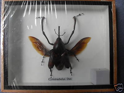 Real Cyrtotrachelus Dux Long Armed Snout Nose Beetle Taxidermy Insect