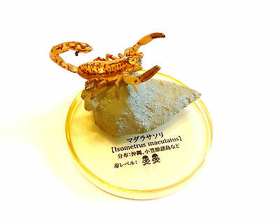 RARE Kaiyodo Takara Tomy Yujin Daintree Rainforest Scorpion Bug Insect Figure