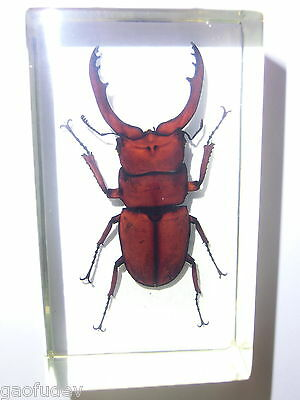 Insect Specimen - Red Wine Antler Stag Beetle: in clear Lucite Paperweight