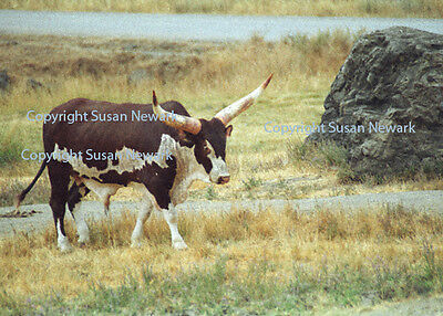 8X10 Matted Photo Longhorn on the Range Cattle Western Ankole-Watusi Africa Bull