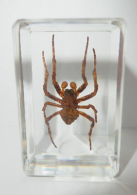 Ghost Spider (Neoscona punctigera) Clear Paperweight - Education Insect Specimen
